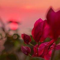 Розовая нежность :: Lidiya Oleandra