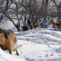 Зимнее пастбище :: Владимир Клюев