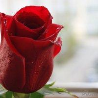 Роза алая моя... :: nika555nika Ирина