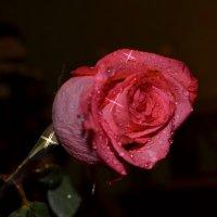 Розовая роза :: Таня Фиалка