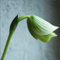 Paphiopedilum Maudiae Орхидея :: Наталья Vorobjeva