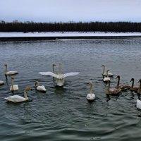 Лебеди на Бие.!7 января 2015 года. :: Владимир Михайлович Дадочкин