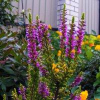 Вереск цветет :: наташа
