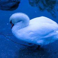 Лебедь :: Вячеслав Емельянов