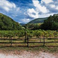 Виноградник в горах-Пшада :: Геннадий
