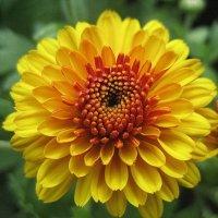 Жёлтая хризантема :: laana laadas