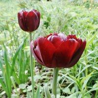 Вот такие они, тюльпаны :: Svetlana27