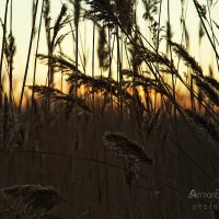 Камышовый рай. :: Arman