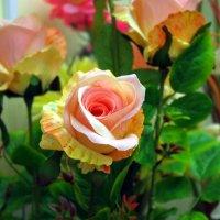 Классная роза! :: Юрий Рачек