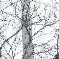 Дятел в обед дерево лечил) :: Анна Шитова