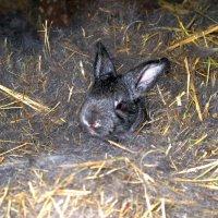 Крольчонок в гнезде :: Константин Филякин