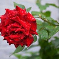 Розы тоже плачут... :: Валентина Данилова