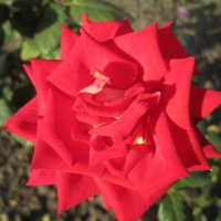 Осенние розы...3 :: Тамара (st.tamara)