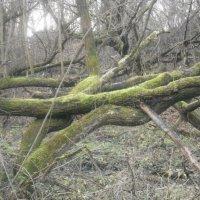 Старый лес :: ЕЛЕНА СОКОЛЬНИКОВА