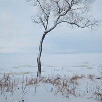 одинокое дерево у зимнего залива :: Елена
