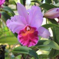 Орхидеи Таиланда :: Vladimir 070549