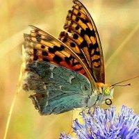 Бабочка-красавица :: Ирина Фирсова