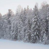 Под снежным одеялом января уснувший лес о лете смотрит сны!!! :: Наталья Пендюк Пендюк