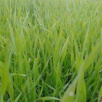 Зелёная, зеленая трава :: Валерия Кратенко
