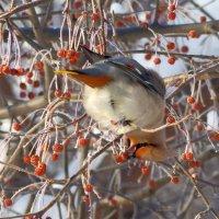Зимние гости - свиристели. 21.01.2015 г. :: Сергей Щелкунов