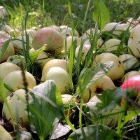 Яблоки в траве :: Татьяна Ломтева