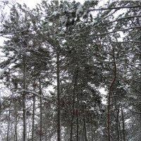 Прогулка по зимнему лесу ...2 :: Тамара (st.tamara)