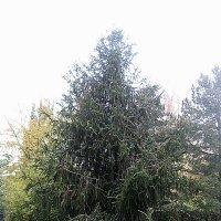 Ведьмино дерево :: laana laadas