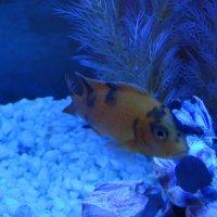 Обитатели аквариума...4 :: Тамара (st.tamara)