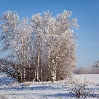 Березы на морозе :: Татьяна Губина