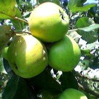 Украинские яблочки :: Миша Любчик