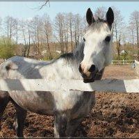 Лошадь :: Лидия (naum.lidiya)