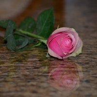 Роза :: Таня Фиалка
