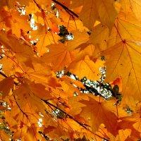 золотые кленовые листья :: Елена Семигина