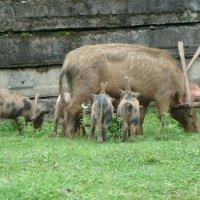 Ограничение свобод абхазского свинства. :: юрий