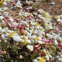 цветы пустыни Мохаве :: Алексей Меринов
