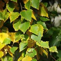 Березовые листья :: Лилия Рахматуллина