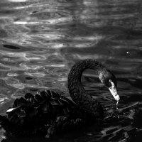 черный лебедь :: Кирилл Золотаев