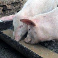 Свинья как символ :: Наталья Джикидзе (Берёзина)