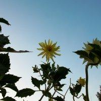 Солнышко.  Автор Саша. :: Фотогруппа Весна.