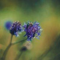Пчела :: Alexander Yasinovsky