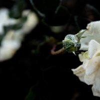 Замерзла, роза.. :: Александр Кореньков