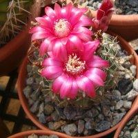 Цветет кактус :: Герович Лилия