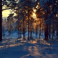 Солнечный лес :: Ольга