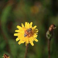 Пчела трудяга :: Владимир Сарычев