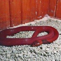Змея-как символ года :: Наталья Джикидзе (Берёзина)