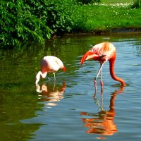 фламинго :: Александр Корчемный
