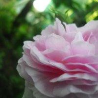 роза :: Денис/Алина Крылов(а)