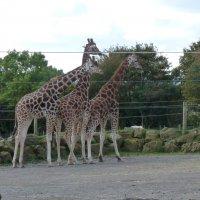 Сколько ног у трёх жирафов? :: Natalia Harries