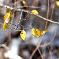 Хоровод из желтых листьев... :: TATYANA PODYMA