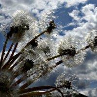 Одуванчики-облака :: galina tihonova